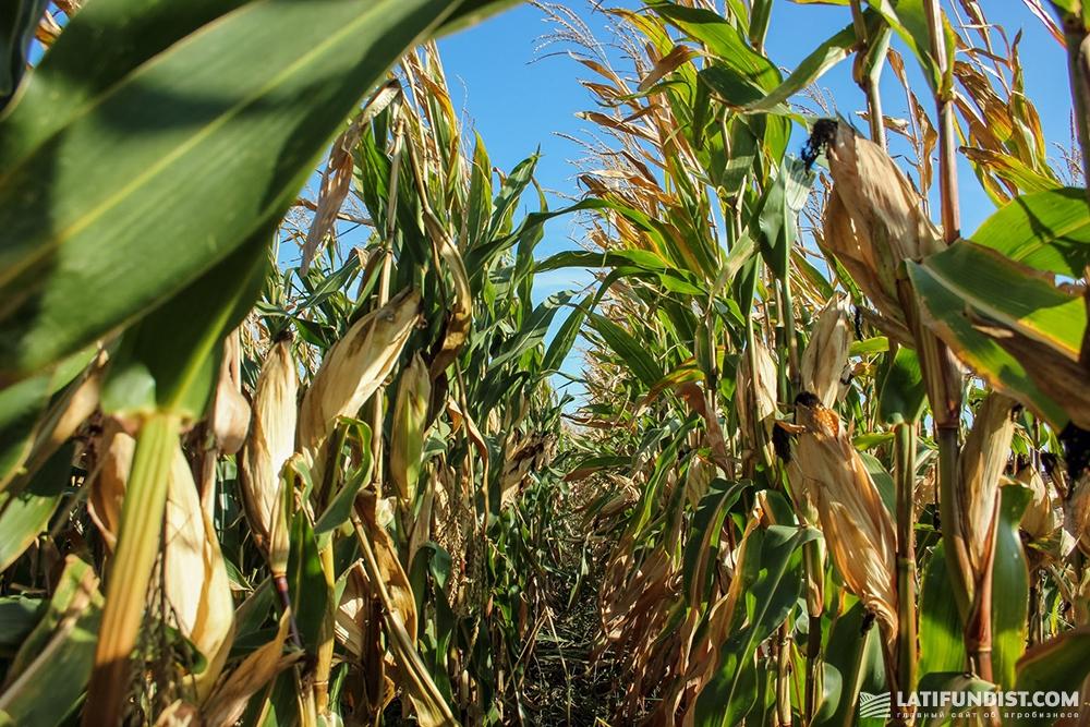Посевы кукурузы «Вега Агро»