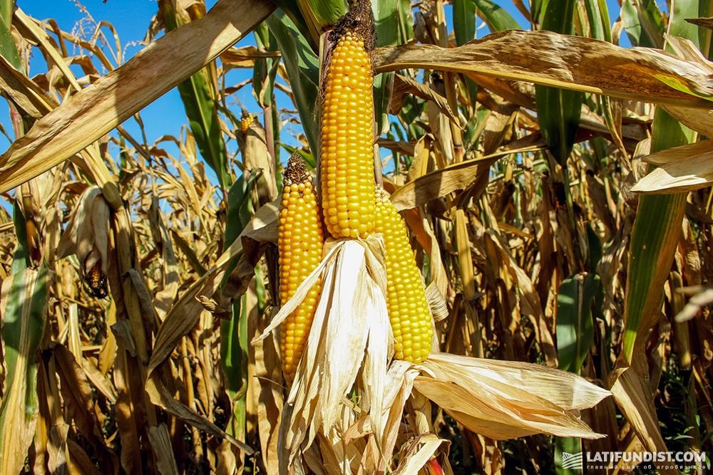 Кукуруза в поле «Полисся»