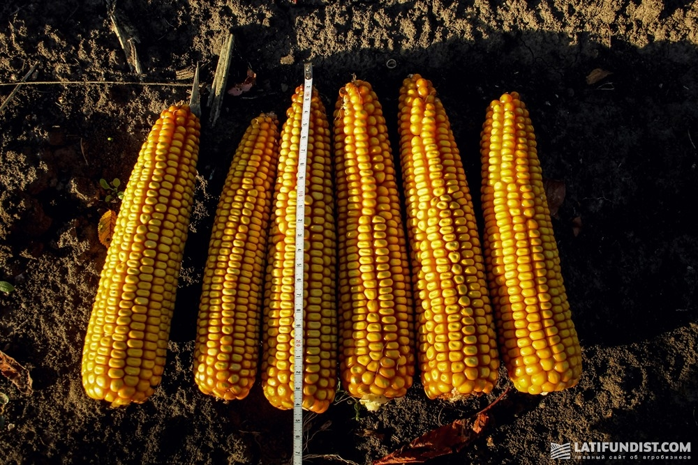 Кукуруза «Агрошляхбуд»
