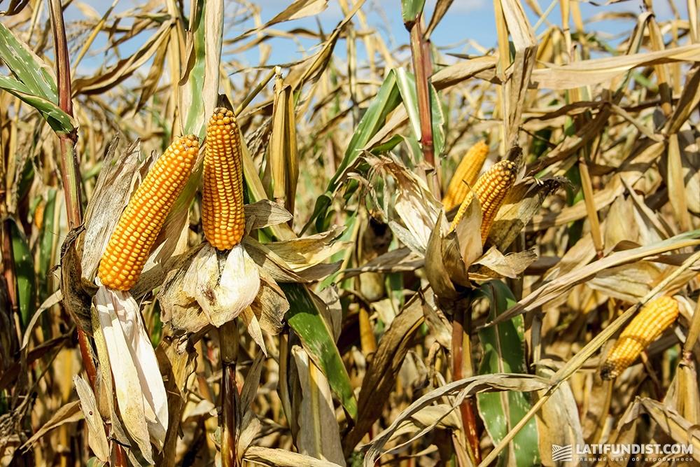 Кукуруза в поле ФХ «Видродження»