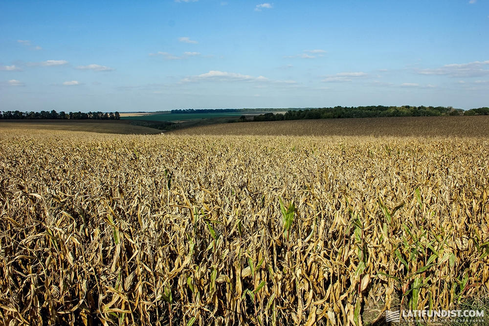 Кукурузное поле ФХ «Салий»