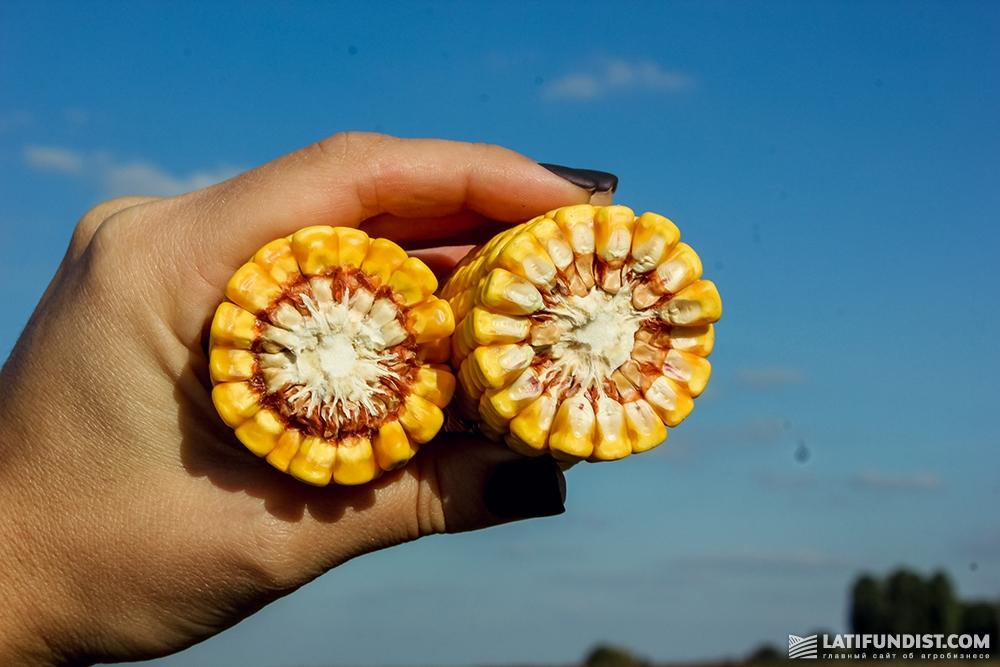 Кукуруза ФХ «Салий»