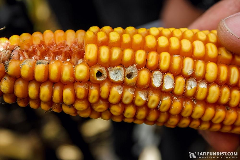 Початок кукурузы, поврежденный луговым мотыльком