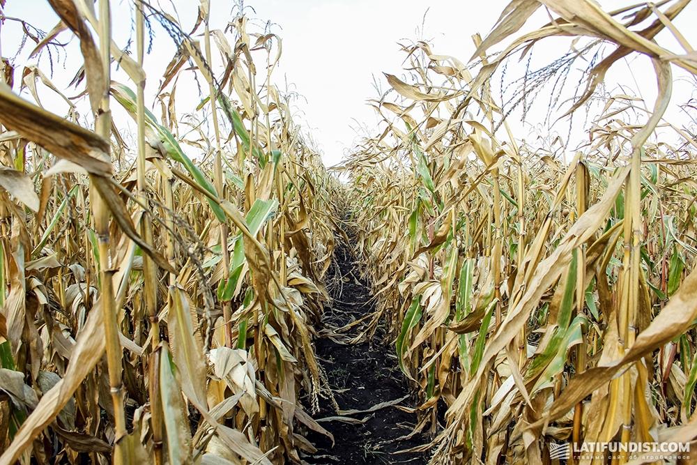 Посевы кукурузы ФХ «Видродження»