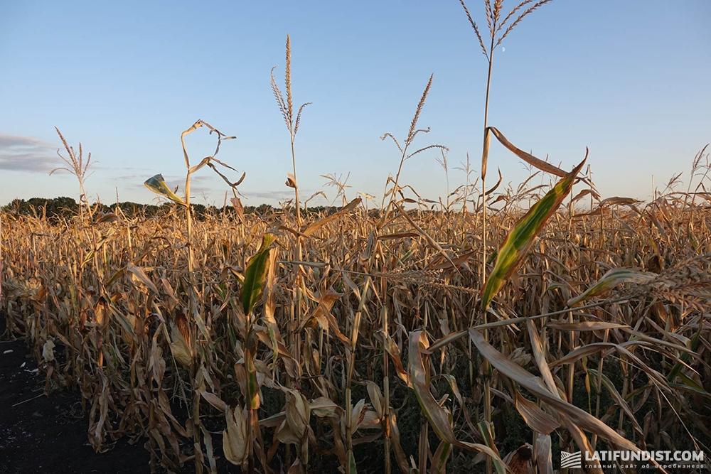 Кукуруза «АПК Докучаевские Черноземы»