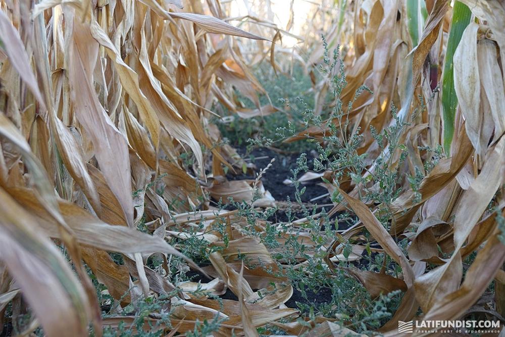 Посевы кукурузы «АПК Докучаевские Черноземы»