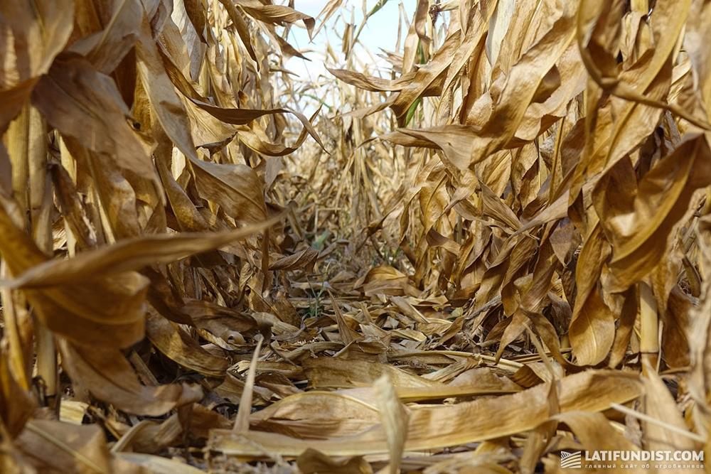 Посевы кукурузы предприятия «Орач»