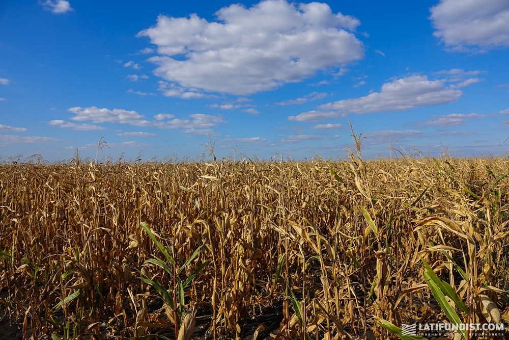 Кукуруза хозяйства «Орач»