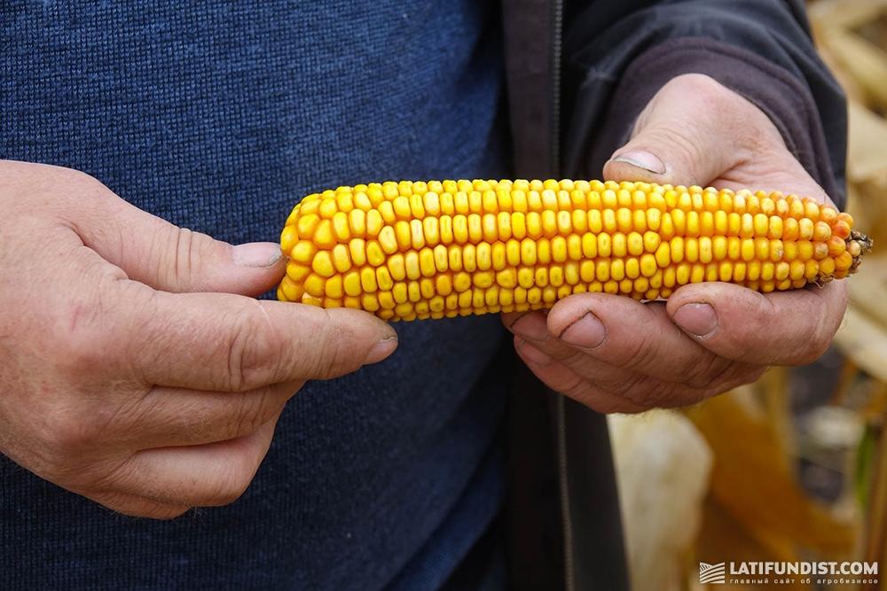 Кукуруза хозяйства «Шляхова»