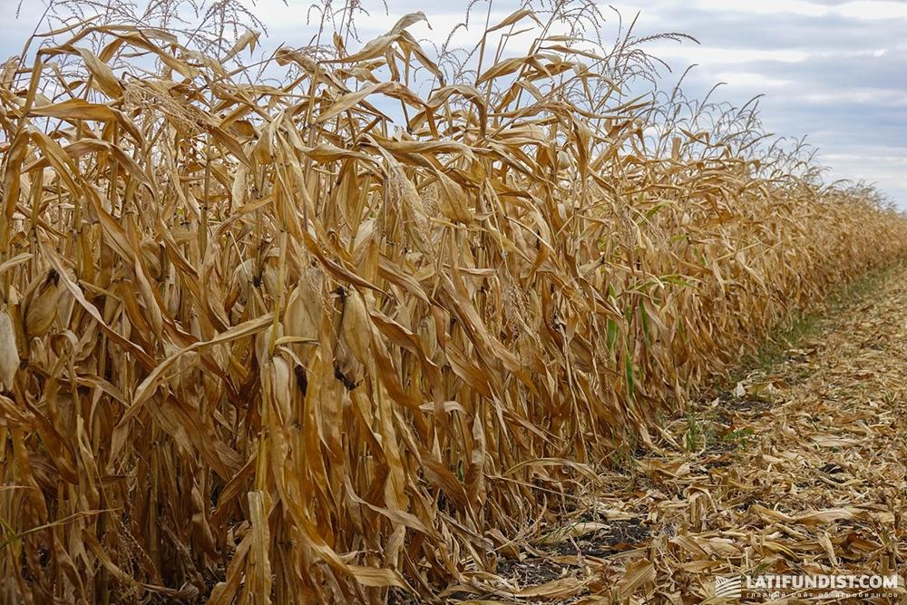 Посевы кукурузы ФХ «Шляхова»