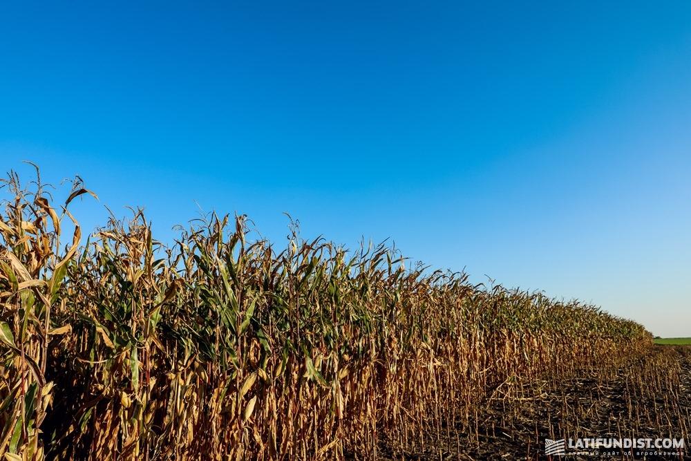 Посевы кукурузы «Агролайн-Украина»