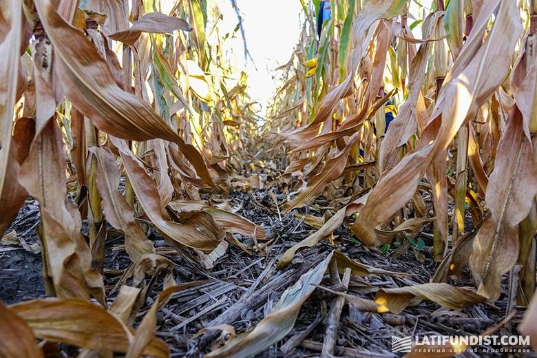 Посевы кукурузы предприятия «Шанс»