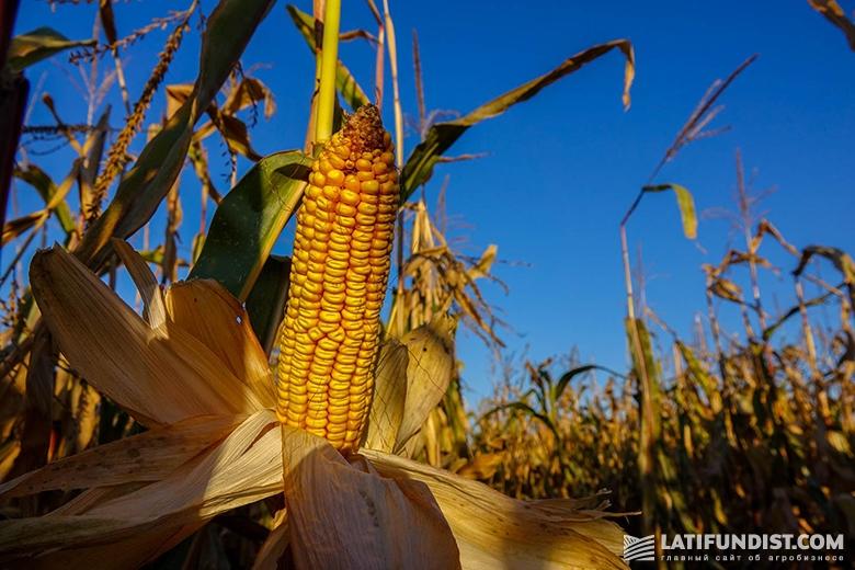 Кукуруза на поле компании «Шанс»