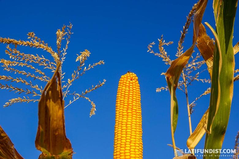 Кукуруза на поле «Шанс»