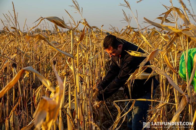 Андрей Андриенко осматривает посевы кукурузы