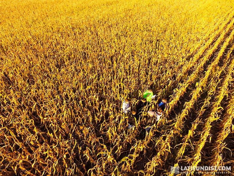 АгроЭкспедиторы в поле кукурузы компании «Шанс»