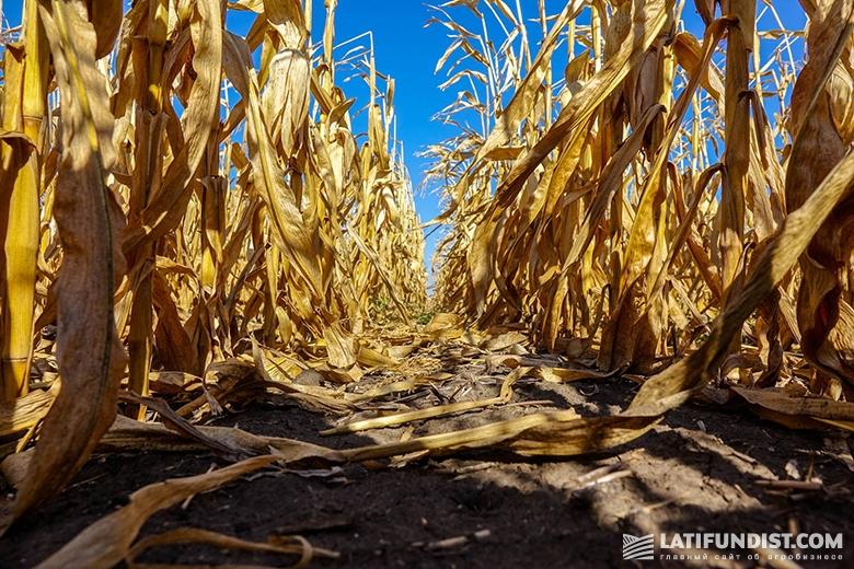Посевы кукурузы компании «Санти»