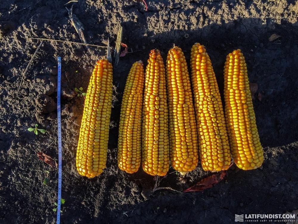 Кукурузные початки