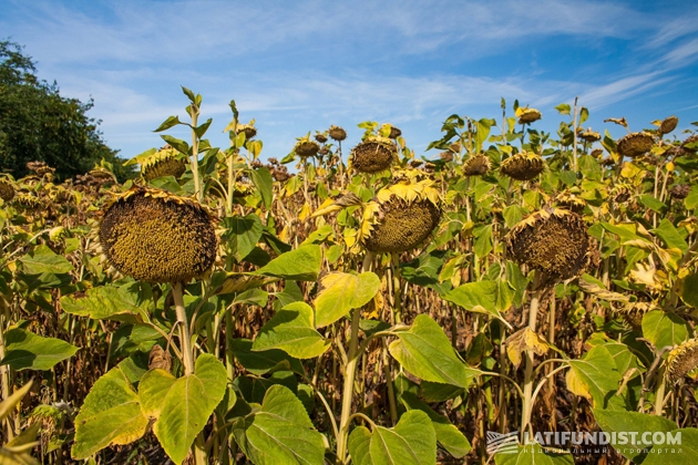 Поле подсолнечника агрокомпании «Агро-Дело»