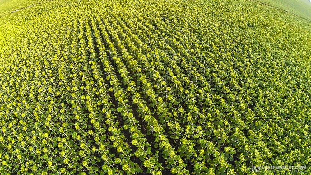Kernel's sunflower field in Poltava region