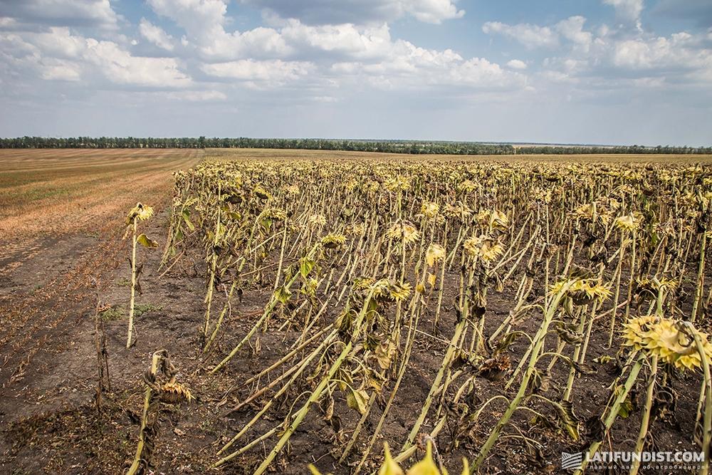 Посевы подсолнечника, поврежденные бурей