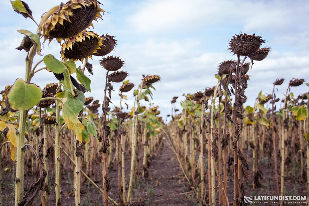 Посевы подсолнечника на поле «Хлебодара»