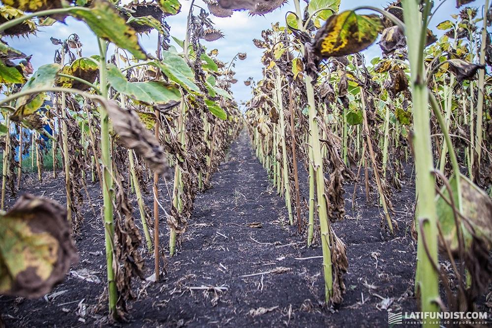 Мы не нашли на поле заразихи, хоть в регионе этот сорняк очень распространен