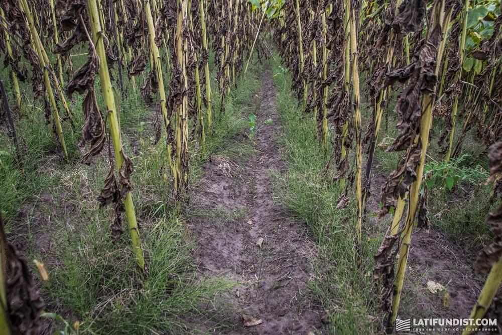 Посевы подсолнечника «Агропроммаш»