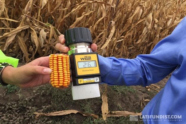 Проверяем влажность гибрида кукурузы