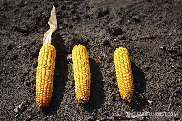 Спелые кукурузные початки
