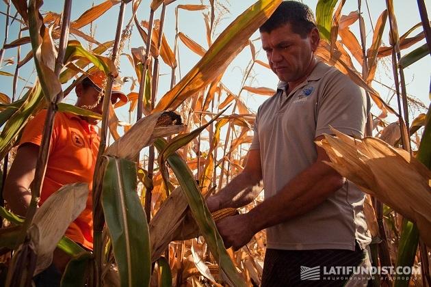 Осматриваем урожай вместе с директором ФХ «Колос» Андреем Бибой и представителем KWS Николаем Клименко