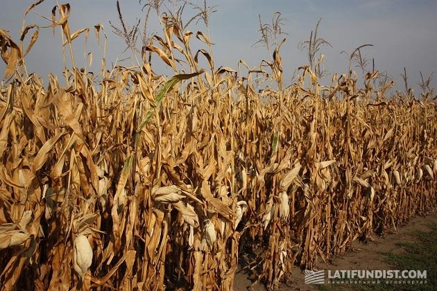 Кукурузное поле