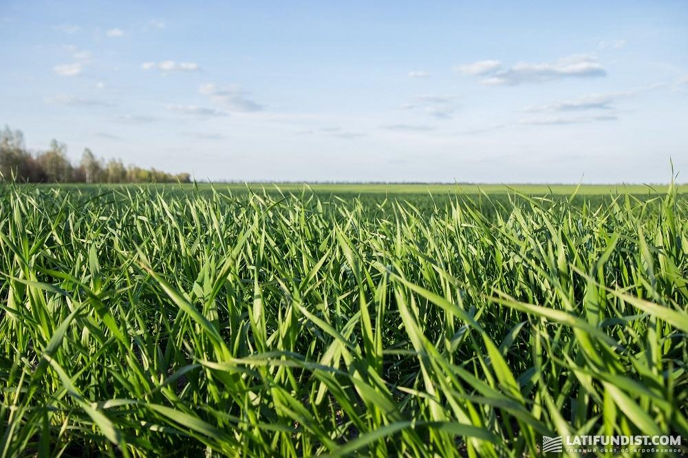 Поле озимой пшеницы