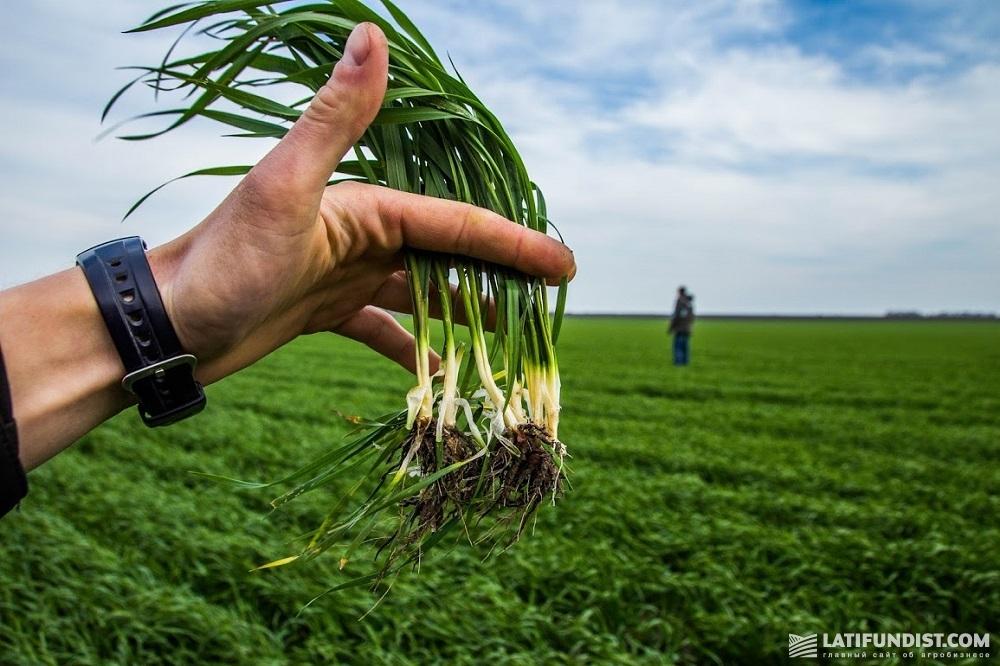 Озимая пшеница на полях «Новоселица»