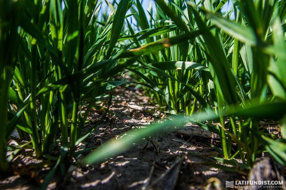 Пшеница на поле хозяйства «Диброва и К»