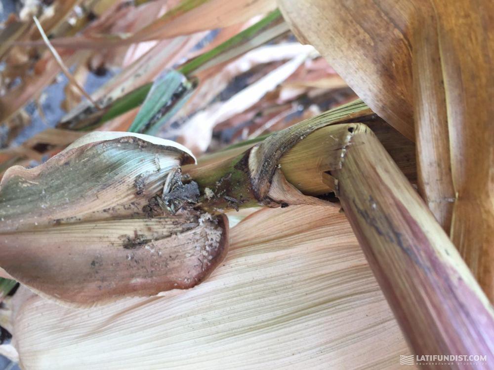 Повреждения стеблевым мотыльком и огневкой