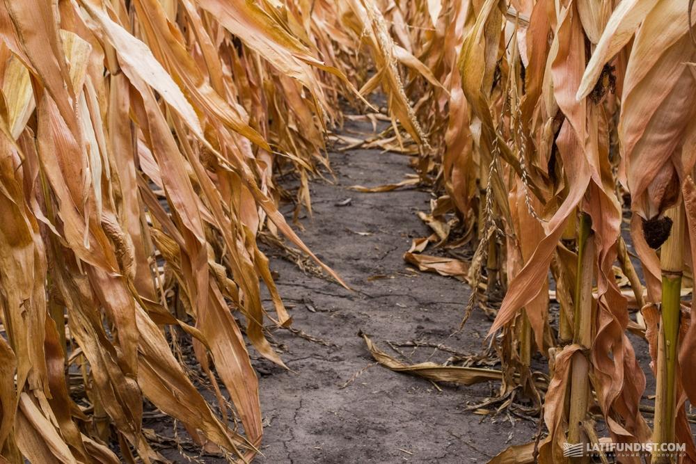 Чистота кукурузных посевов