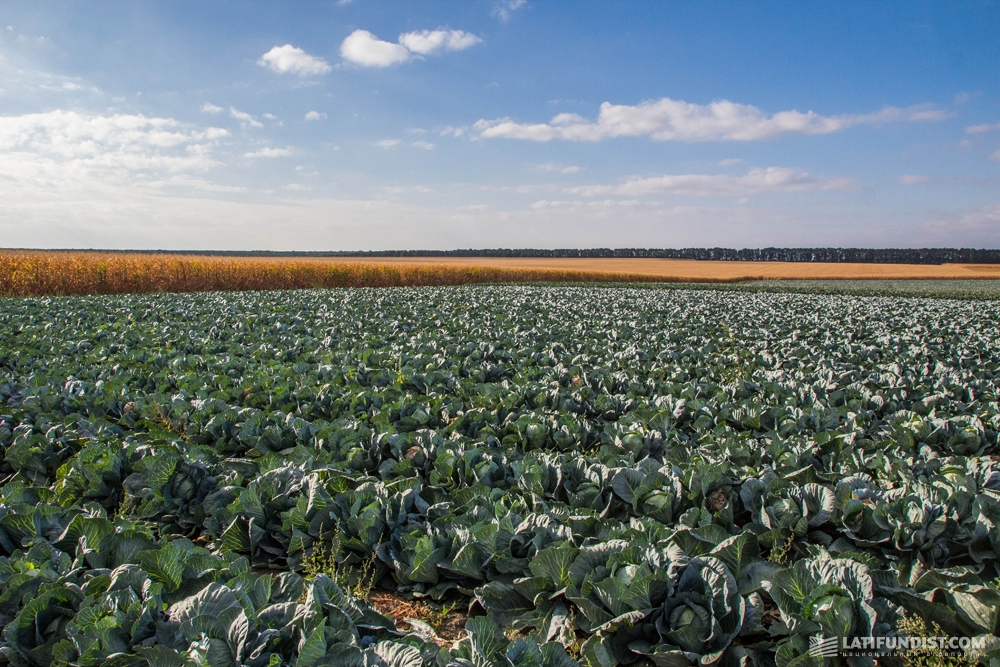 Поле капусты агропредприятия «Урожай»