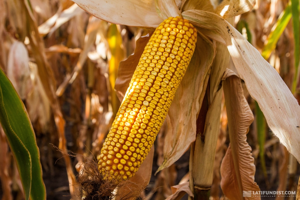 Гибрид кукурузы Зузанн ФАО 280, селекции Saaten Union