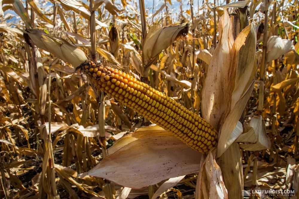 Поле кукурузы на Кировоградщине