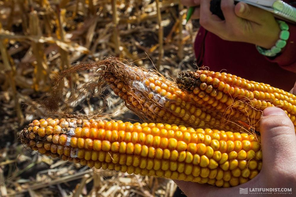 Фузариоз на початках кукурузы