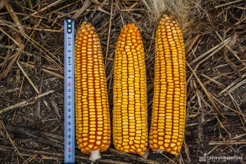 Измерение длины початков кукурузы