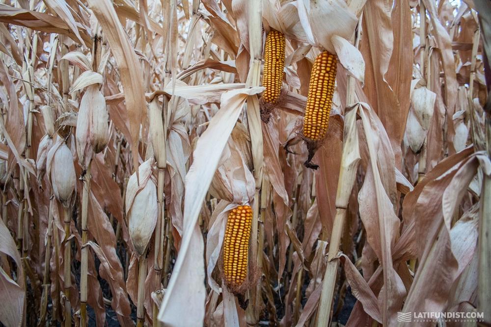 Кукурузное поле агрофирмы «Украина»