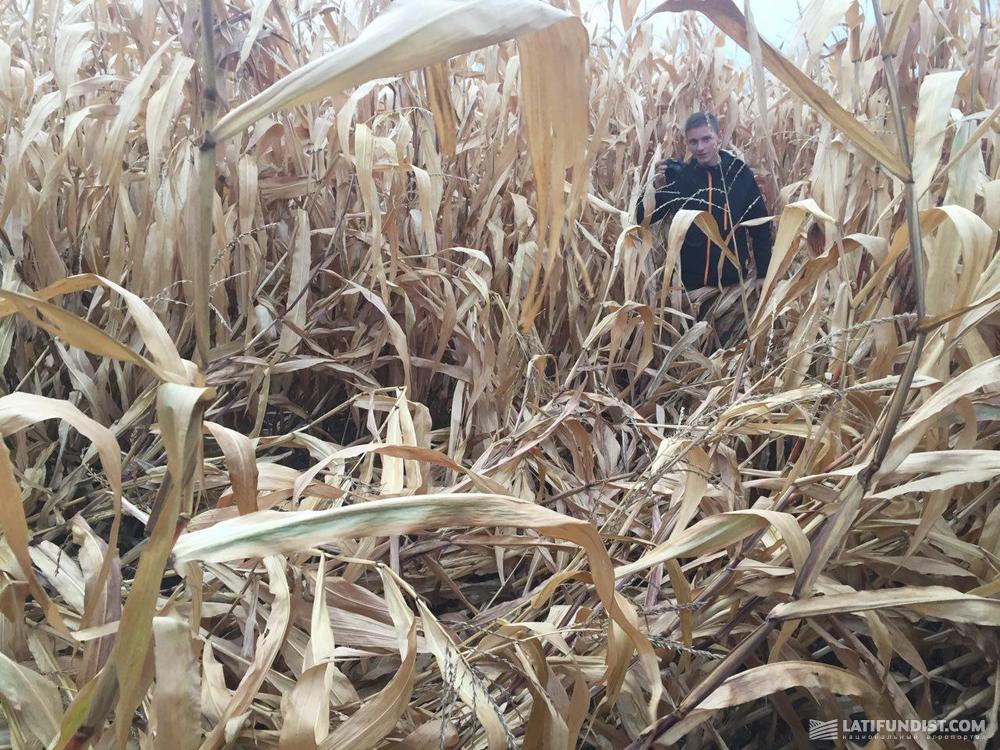 Поле кукурузы пострадавшее от полегания