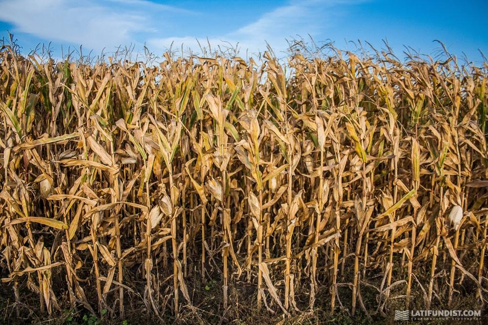 Кукурузные поля фермерского хозяйства «Им. Шевченко»