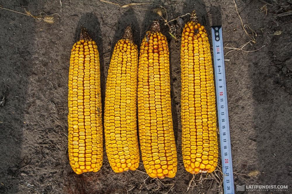 Замер длины початков кукурузы