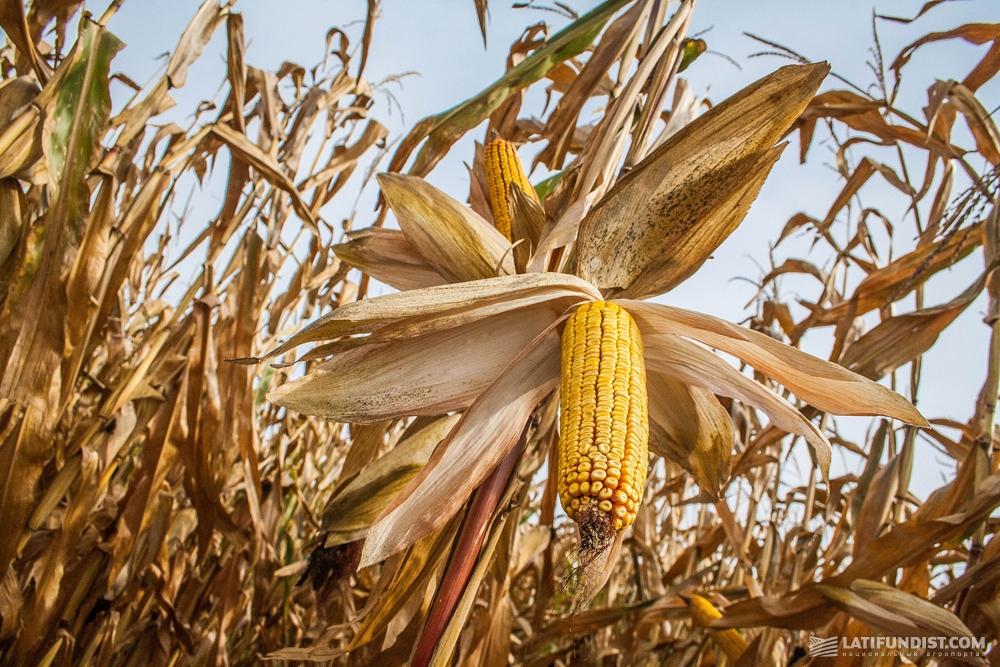 Кукурузное поле ГП «Зернятко»