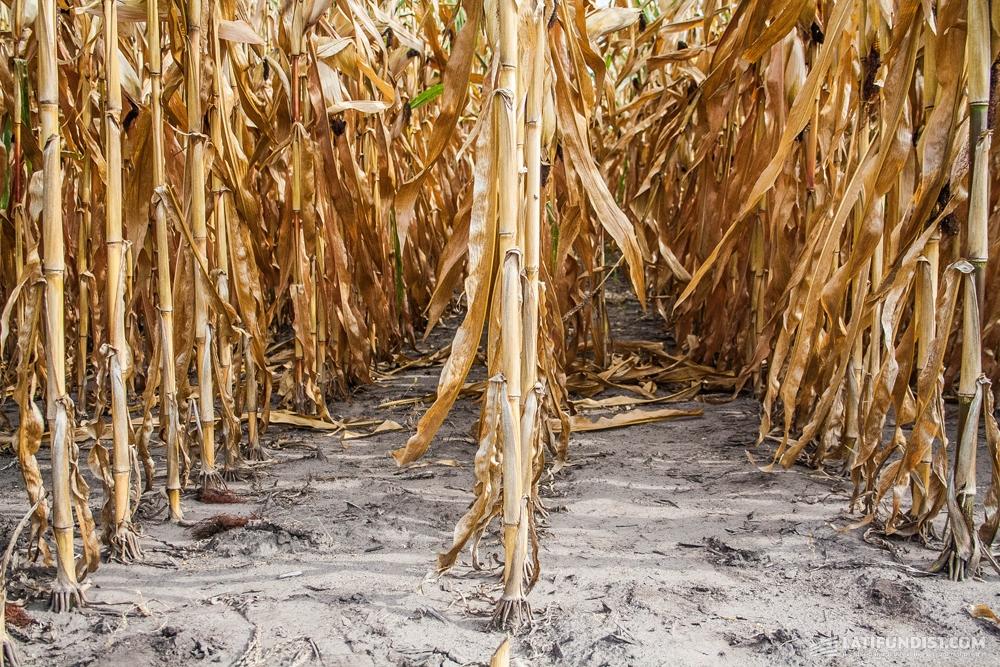Поле кукурузы предприятия «Зернятко»