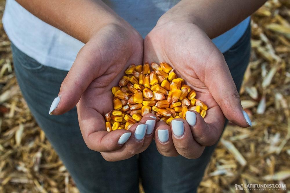Золотые зерна кукурузы
