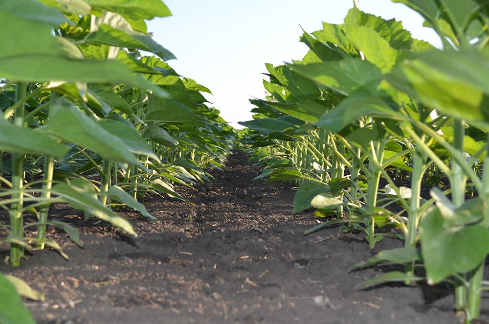 Посевы подсолнечника, на которых были использованы почвенные гербициды UKRAVIT